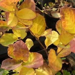 ウグイスカグラの黄葉