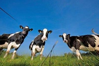 84093-cows-in-field-3