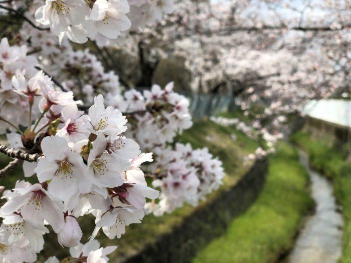 私部公園前桜並木