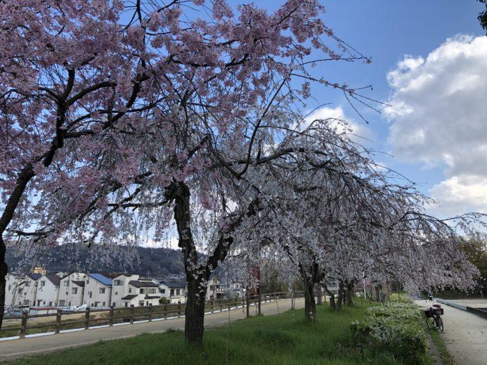 天の川沿い桜並木