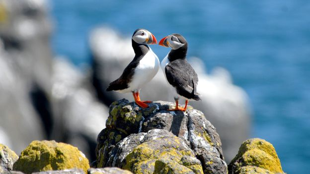 """Puffins outnumber people 15 to one on Lundy, and the island's name means """"puffin island"""" in Old Norse (Credit: Credit: Jpix1/Getty Images)"""