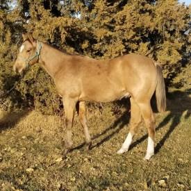 2020 Buckskin Stallion