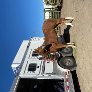 9 yr old AQHA 2D 3D barrel horse