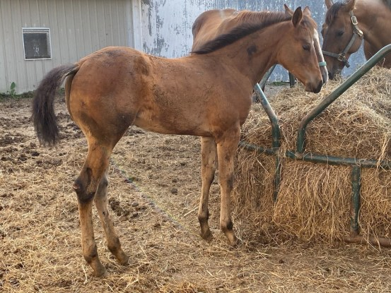 Weanling Filly - Pink/ Ruby Buckle, Blue Collar, Royal Crown, Future Fortunes, etc.