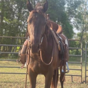 2 year old registered AQHA mare