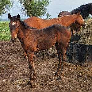 Slye By Design Weanling Filly