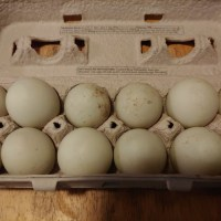 Free Range Fresh Duck Eggs