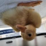 Buff Ducklings