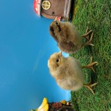 Cream Legbar Chicks