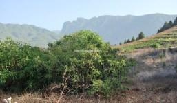 Finca de aguacates en Tacande
