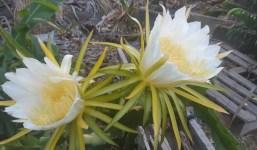 Se venden esquejes de pitayas