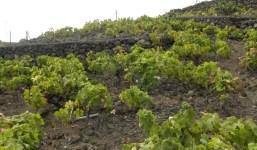 Terreno vallado con viñas en Breña Baja