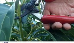 Curso Fertilización y Poda en Aguacate