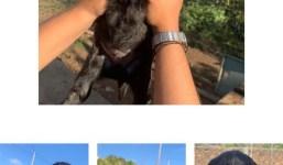 Cachorritos de labrador y pastor alemán con 3 semanas de vida buscan hogar urgente.