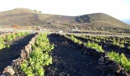 Subvenciones destinadas a la reestructuración y reconversión de viñedos en la Comunidad Autónoma de Canaria