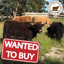 WTB: Heifers or Young Cows