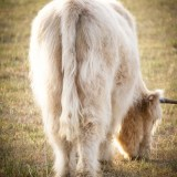 Highland Cattle - Steers