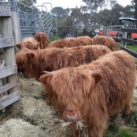Highland Heifer for Sale