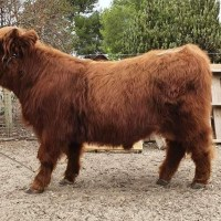 Quality young highland bull for sale. Tormund of Amrabull Park