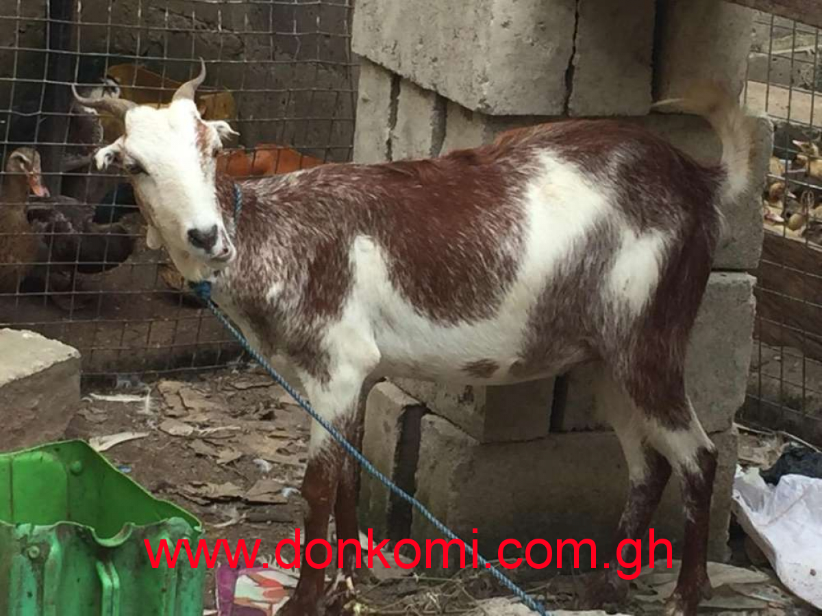Goat and sheep for breeding and occasions