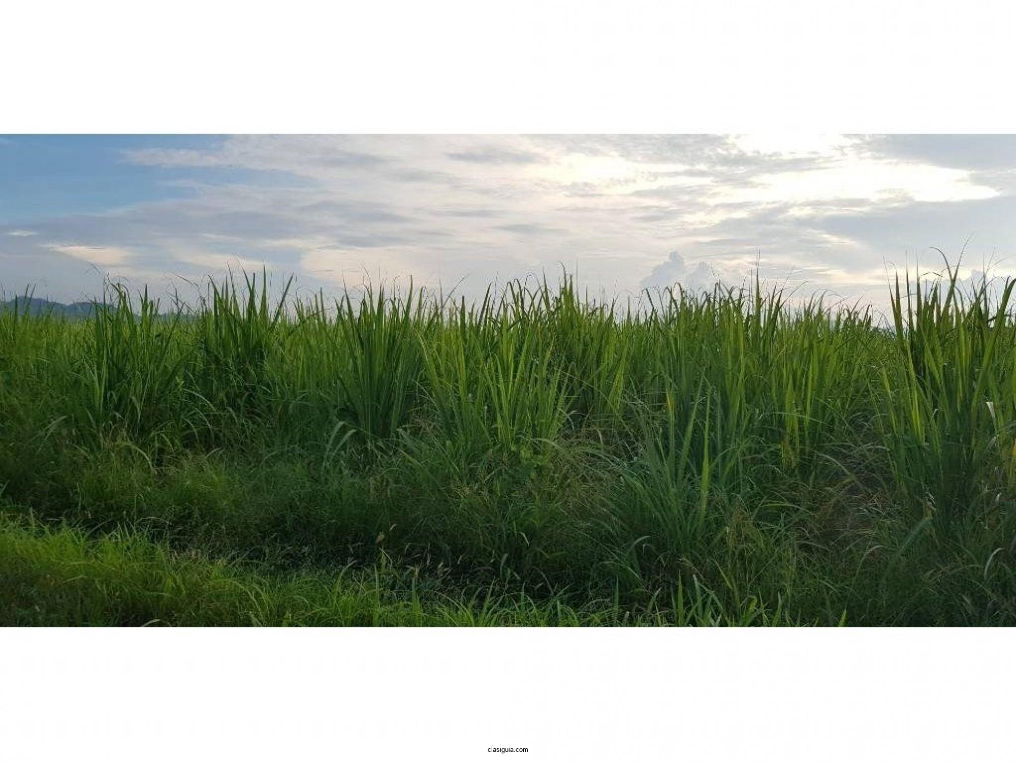 Venta de terreno con caña en Candelaria la Frontera, Santa Ana