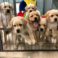 Lindos cachorros de Labrador Retriever