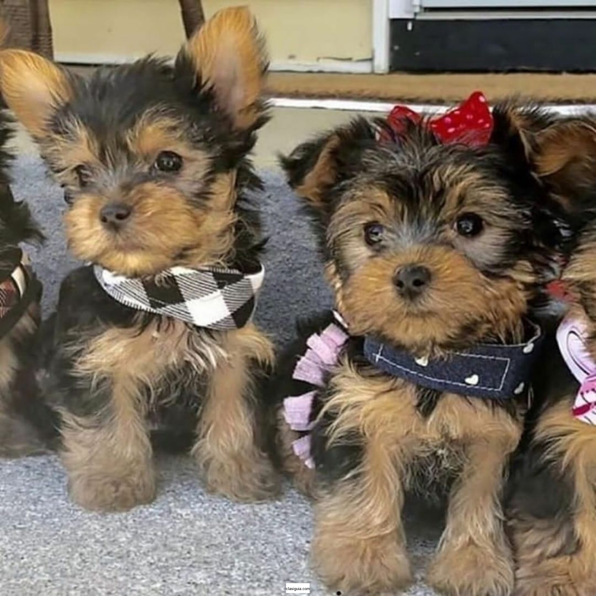 Cachorros Yorkie de raza pura