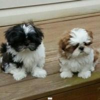 Adorables cachorros machos y hembras de shih tzu
