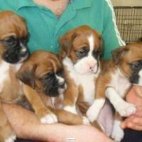Cachorros AKC Boxer