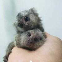 Monos titíes lindos y saludables