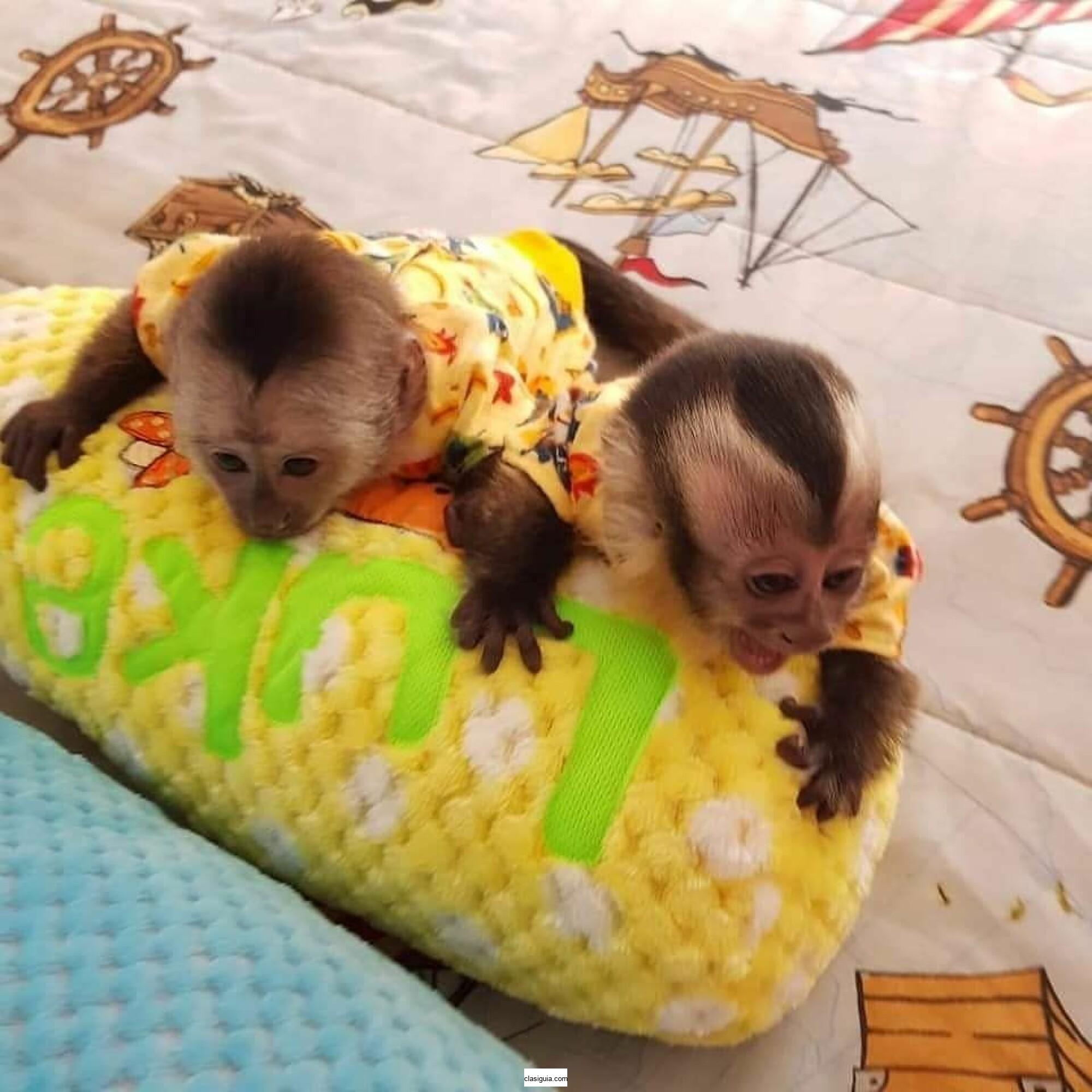 Monos capuchinos bebés de primera calidad