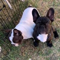 Dos cachorros de bulldog francés en adopción