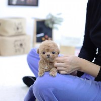 Cute, Friendly Teacup Poodle Puppies