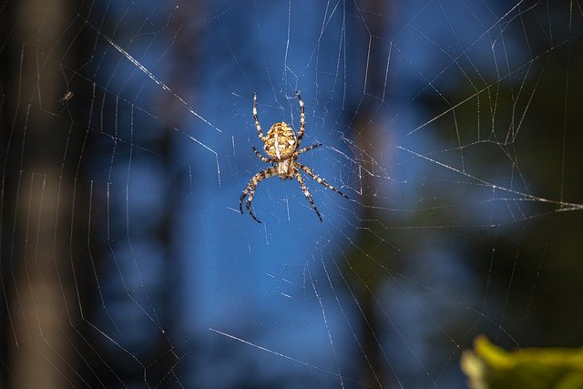 27 years later this type of large spider was once again discovered in the UK and was thought to be extinct in the UK
