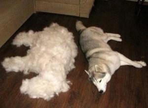 hair-dog