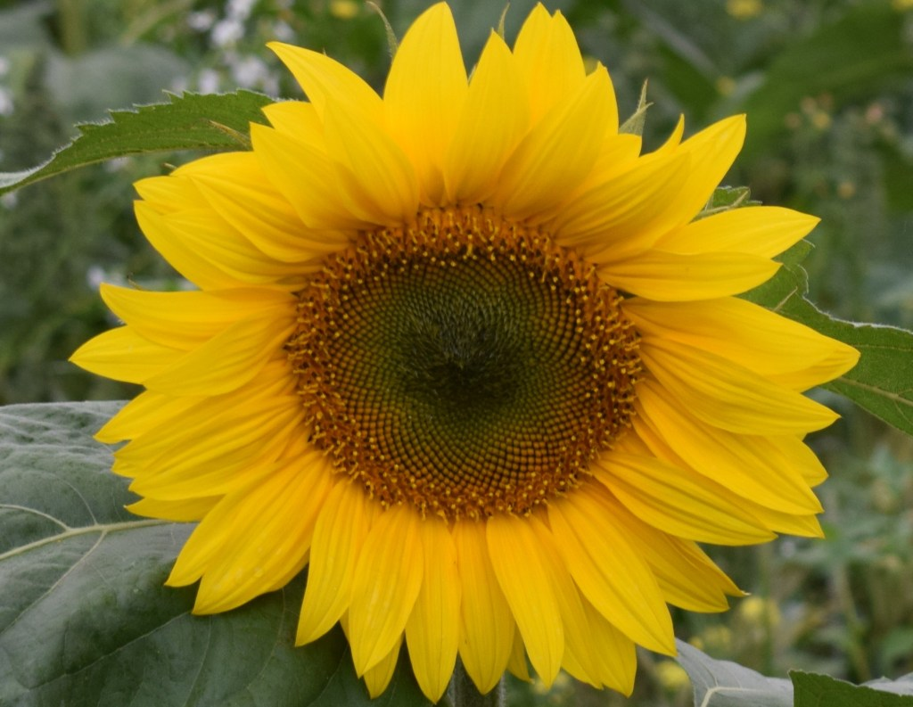 A closeup of a sunflower with leaves in the background