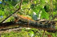 CR Iguana 2