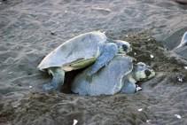 CR Lesbian Turtles