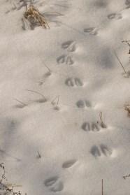 2015-2-22_FFSP_snow-deer-tracks-1-5