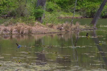 Apr-30_flying-heron-and-goose-1-2
