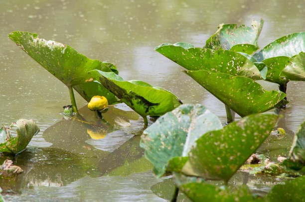 Spatterdock or yellow pond lily