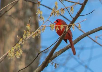 Cardinal, Northern (m