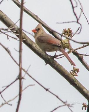 Cardinal, Northern (female)