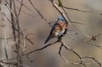Bluebird, Eastern (m)