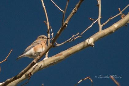 Bluebird, Eastern (f)