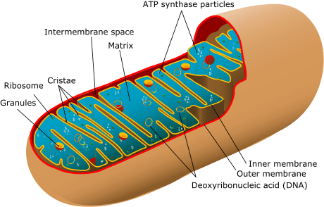 460px-Animal_mitochondrion_diagram_en_(edit).svg
