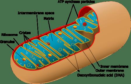 460px-Animal_mitochondrion_diagram_en_(edit).svg