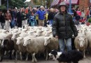 Sheep Parade Through Downtown
