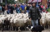 Sheep Parade Through Downtown