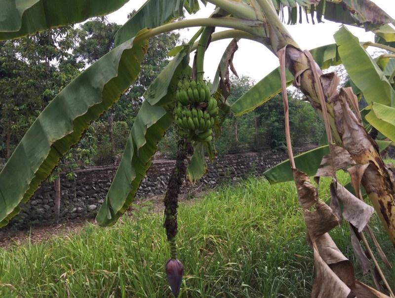 Yehey's Farm - Banana
